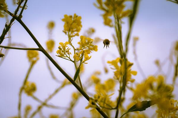 Beyond the Honeybee: Fighting of Behalf of Pollinators | Honeybees are suffering from a number of factors, including pests, chemicals and stress from frequent moves.