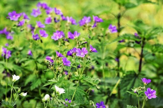 Should You Use Nativars in Your Garden? | Nativars represent a serious decrease in the genetic diversity of our gardens and plants in general.