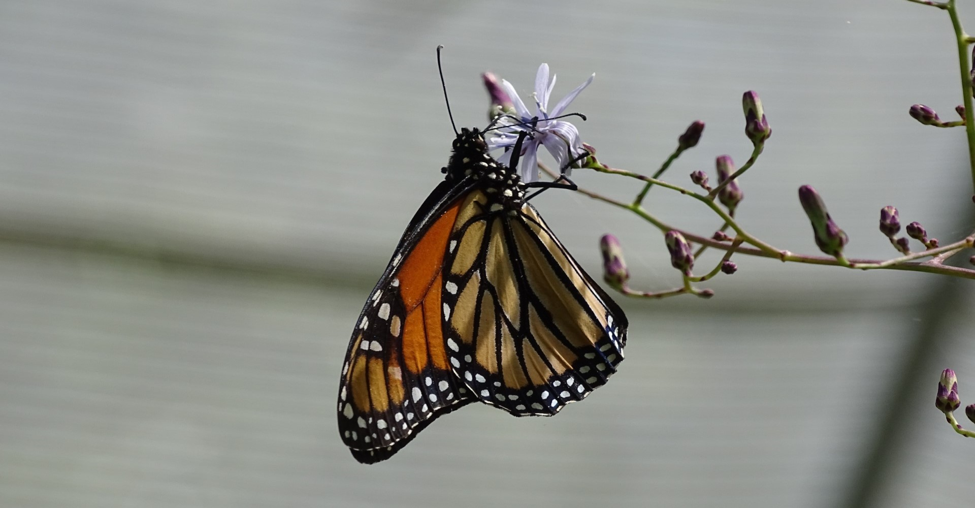 What You Should Know About Monarch Butterfly Recovery, Part II: Taking Action