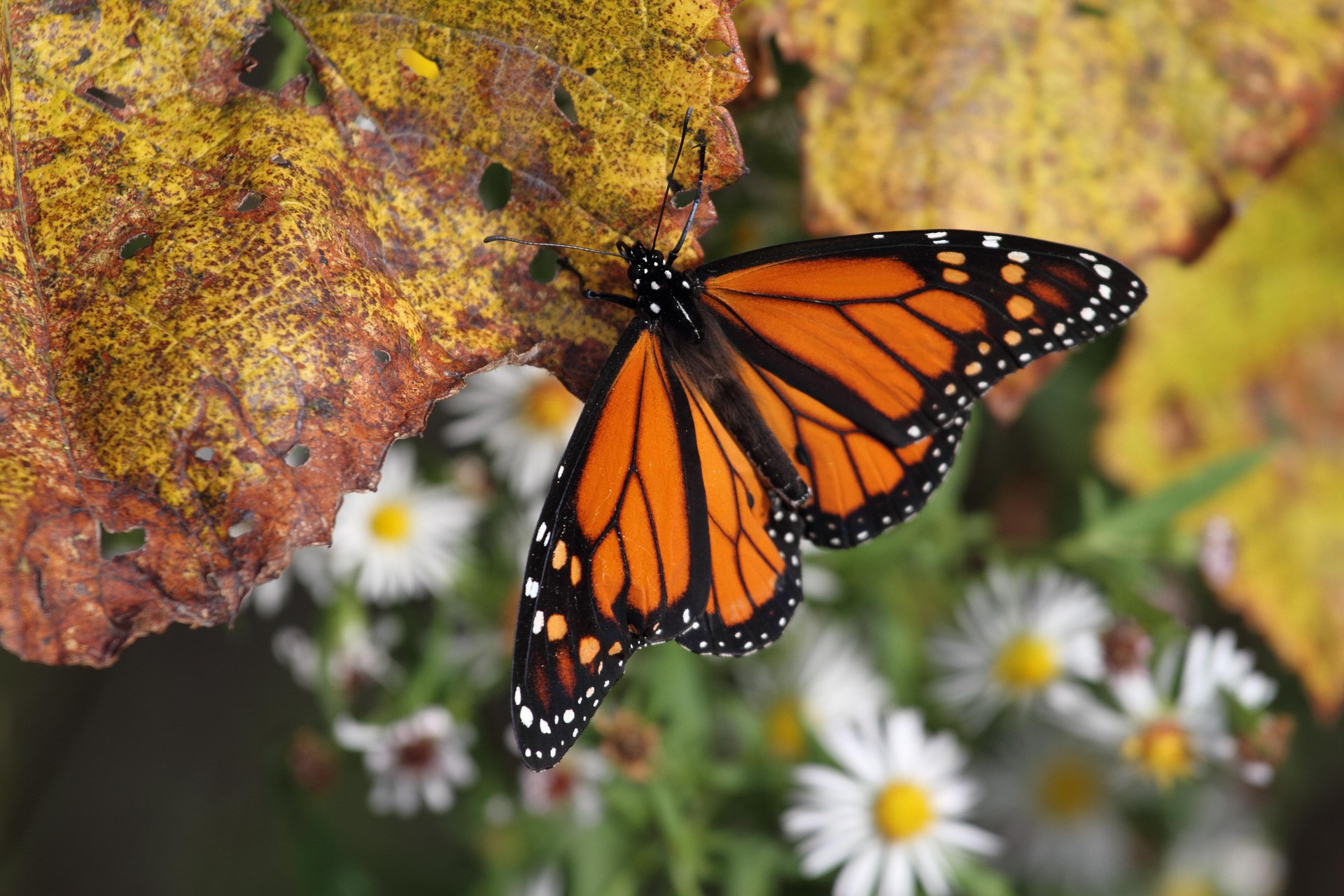 What You Should Know About Monarch Butterfly Recovery, Part I: The Science