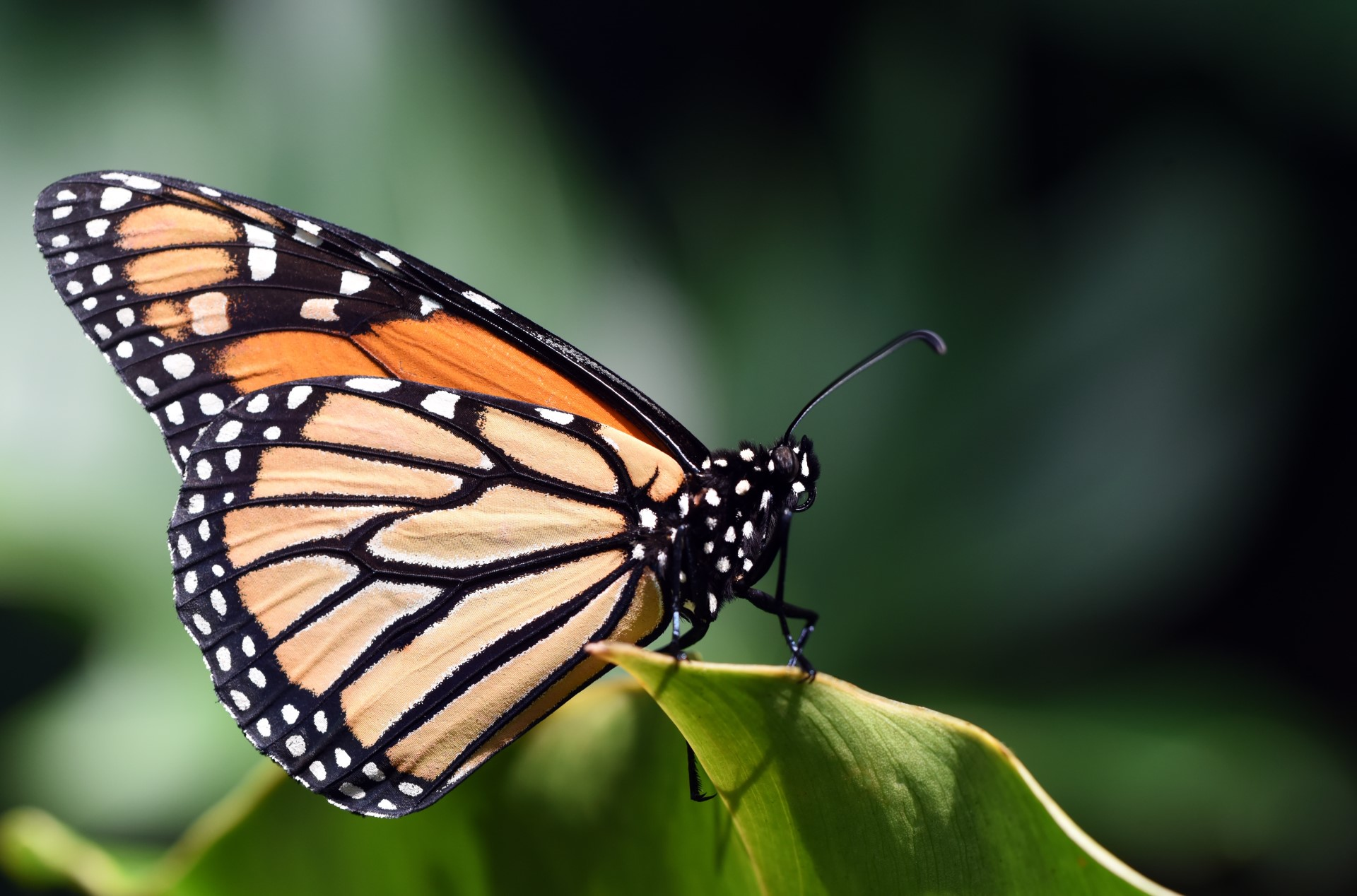 Citizen Scientists at Their Best with the Monarch Community Science Program