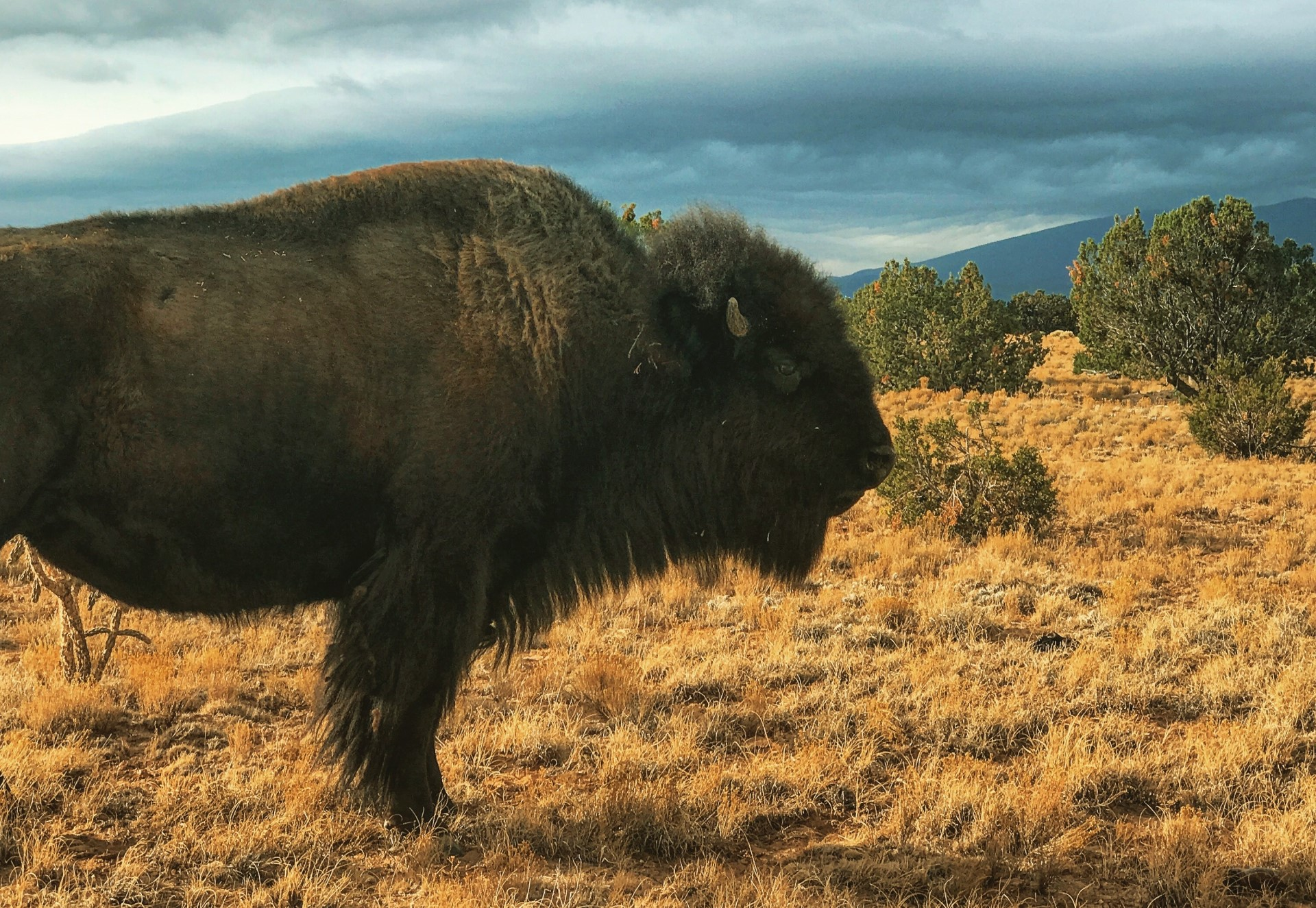 SPOTLIGHT on the American Bison
